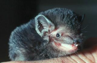 goulds-wattled-bat
