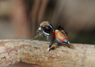 Maratus pavonis, a peacock spider