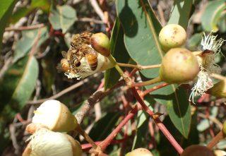 Honey bee on Marri