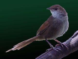 Bristebird